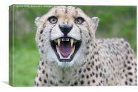 Cheetah snarling pt1, Canvas Print