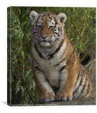 Tiger cub portrait, Canvas Print