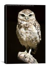 Owl portait, Canvas Print
