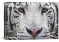 White tiger eyes, Canvas Print