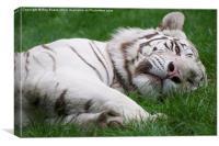 White Tiger always alert!, Canvas Print