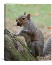 Grey squirrel collecting this nuts, Canvas Print