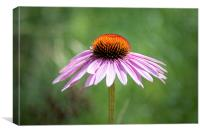 Purple Cornflower, Canvas Print