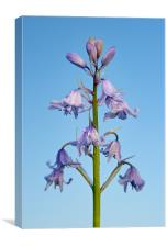 Bluebell Stem Close Up, Canvas Print