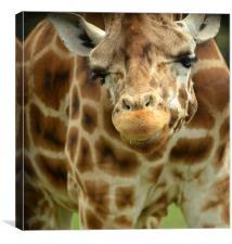 Giraffe Face, Canvas Print