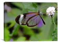Glasswing Butterfly feeding, Canvas Print