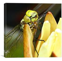 Dragonfly, Canvas Print