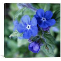 Scottish wildflower Blue, Canvas Print