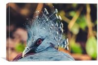 Southern Crowned Pigeon, Canvas Print