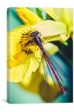 Red Damselfly on Yellow Iris, Canvas Print
