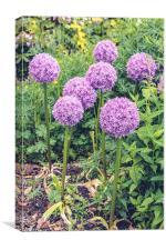 Purple Allium Giganteum, Canvas Print