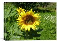 Sunflower in the sun, Canvas Print