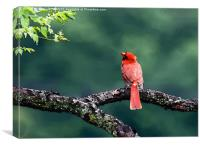 Northern Cardinal, Canvas Print
