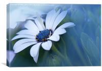 Blue-eyed African Daisy, Canvas Print