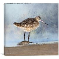 Marbled Godwit, Canvas Print