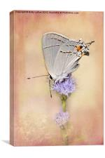 Gray Hairstreak Butterfly, Canvas Print