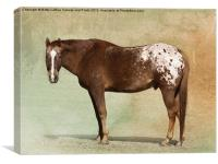 Appaloosa, Canvas Print