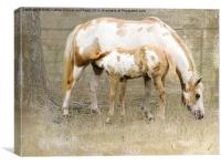 Pinto Mare and Filly, Canvas Print