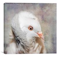 Oriental Frill Pigeon, Canvas Print