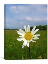 Meadow Daisy, Canvas Print