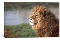 Gazing Lion, Canvas Print