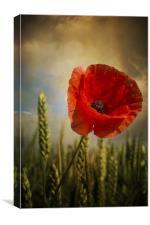 Poppy, Canvas Print