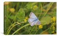 Chalkhill Butterfly, Canvas Print