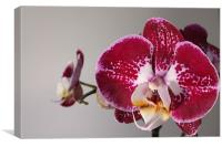 Purple Orchid, Canvas Print