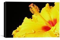 Hibiscus, Canvas Print