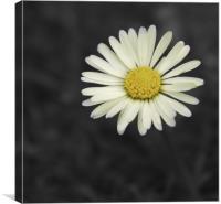 Daisy, Canvas Print