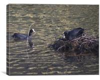 Ducks Making Nest, Canvas Print