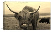 Curious Highland Cow, Canvas Print
