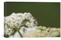 Hoverfly Lunch, Canvas Print
