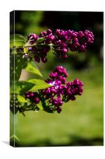 Lilac, Canvas Print