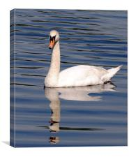 Graceful Swan, Canvas Print