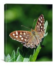 Speckled Wood Butterfly, Canvas Print