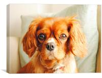 ''Ruby'' King Charles Cavalier, Canvas Print