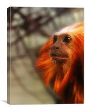 Thoughtful Golden Lion Tamarin Monkey., Canvas Print