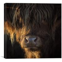 Highland Cow, Backlit, Derbyshire, Canvas Print