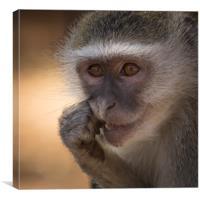 Vervet Monkey, Primate, Zimbabwe, Canvas Print