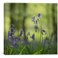 Bluebells, woodland, wild flowers , Canvas Print