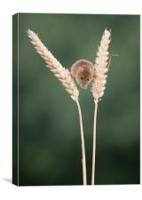 Balancing between the wheat, Canvas Print