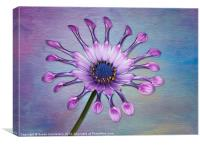 Sunscape Daisy, Canvas Print