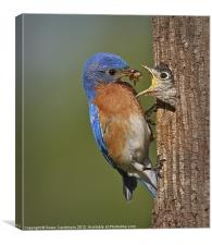 Eastern Bluebird Feeding Chick, Canvas Print