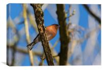 Resting chaffinch, Canvas Print