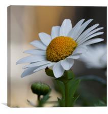Single daisy, Canvas Print