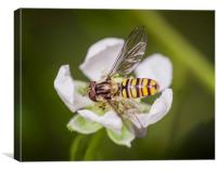 Resting Hoverfly, Canvas Print