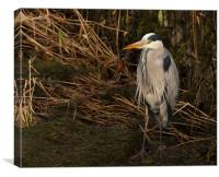 Standing Grey Heron, Canvas Print