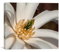 Magnolia Stellata, Canvas Print