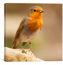 Feeding Robin., Canvas Print